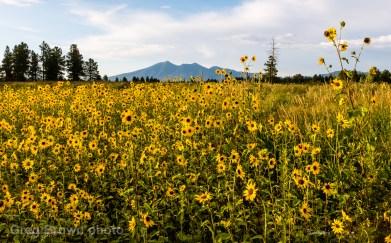 c2015GregBrown_Sunflowers_1983-8bitSmw1200