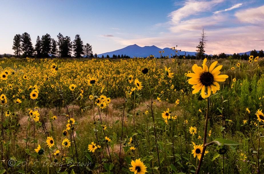 SunflowersSunset-SFPeaks_KachinaWetlands_2041eSmw1200