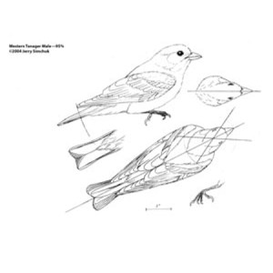 Tanager, Western Male Jerry Simchuk study Pattern