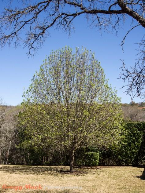 20130310_Bradford_Pear_Tree_008