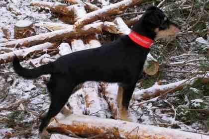 Jagdterrier Mimöschen vom Sandkrug im Grumsiner Forst