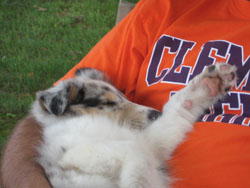 Our new puppy 'Blu' sleeping in my lap at the cottage.