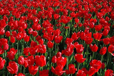 Tulip Festival - Ottawa, Canada