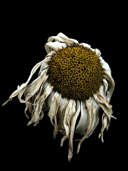 fading-flower