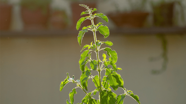 tulsi leaves for face pack