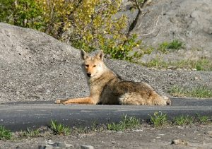 Coyotes are typically skittish around humans.