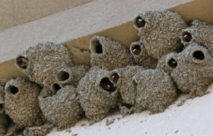 pest swallow nests