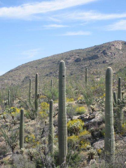 SaguaroLandscape