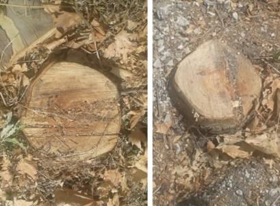 des arbres en parfaite santé ont été froidement liquidés