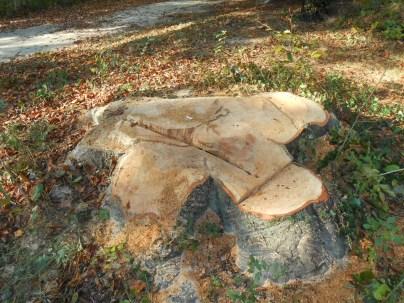 ce qu'il reste du plus bel arbre du parc Soulage à la Bajatière