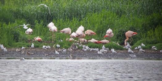 Flamingo's in Zwillbrock, foto van Wikipedia