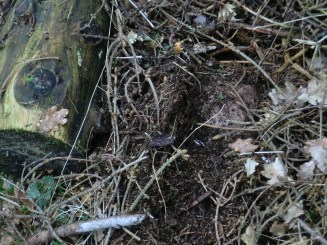 Sind die Äste und Gestrüpp entfernt worden, so kommt wird ein Stein sichtbar.