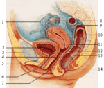 Female_reproductive_system