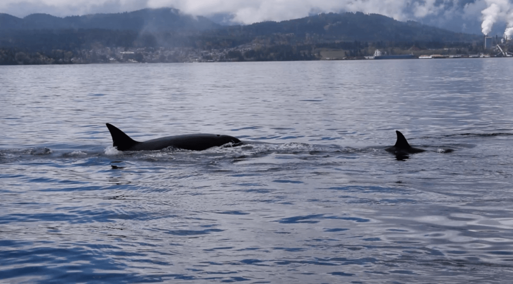 Killer whales hunting close to our boat