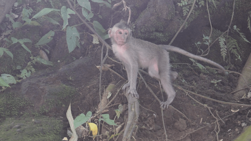 A baby monkey wanders around the Monkey Forest