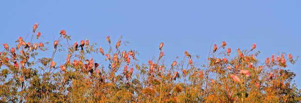 Pink and grey galahs warming up at dawn
