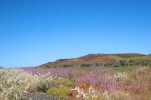 Wildflowers brighten the Pilbara landscape
