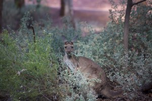 This is a grey kangaroo sitting outside our room at the Wilpena resort.