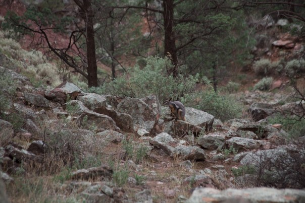 There's a rock wallaby in this shot.