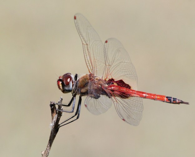 A dragonfly clings on to a twig in a breeze