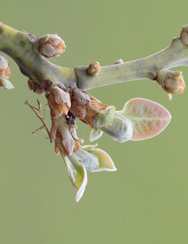 A tiny praying mantiss. That story about cannabalising the males after sex isn't completely true