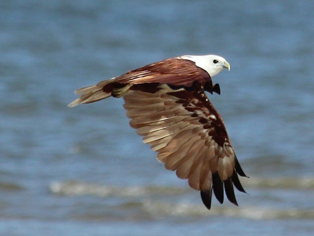 A Brahmani kite angles its wings as it flies down the beach