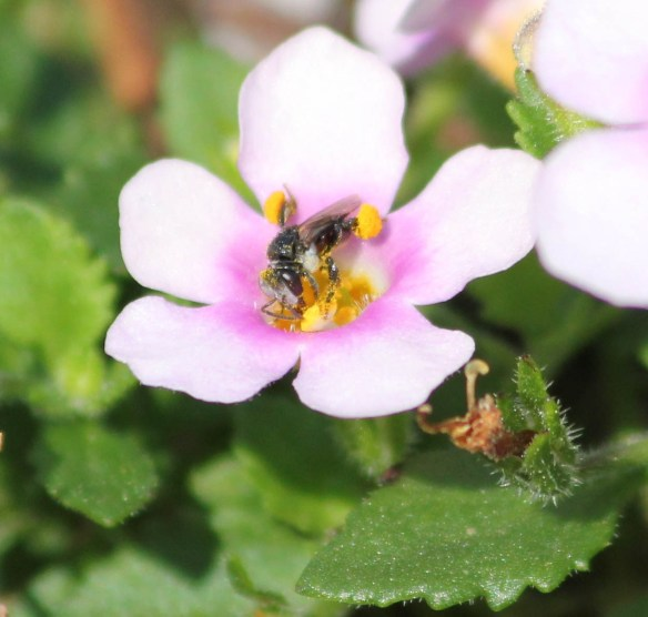 A tiny native bee collecting honey from a scaveola flower