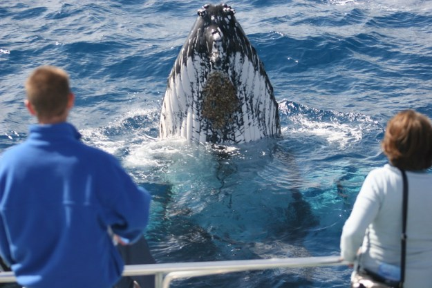 A young whale spy hopping - checking out the people on the boat