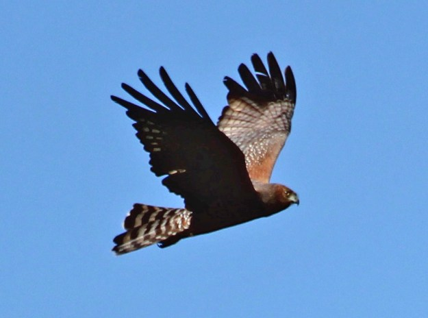 A spotted harrier cruising to look for food