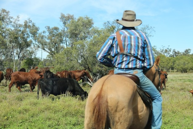 A drover moving cattle