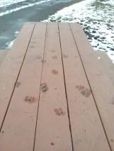 muddy paw prints