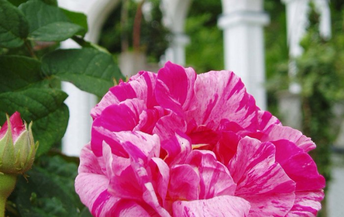 Painswick Gardens Rose