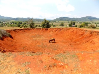 Cow grazing in a crater