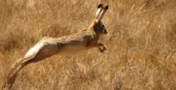 Hare today, hare tomorrow
