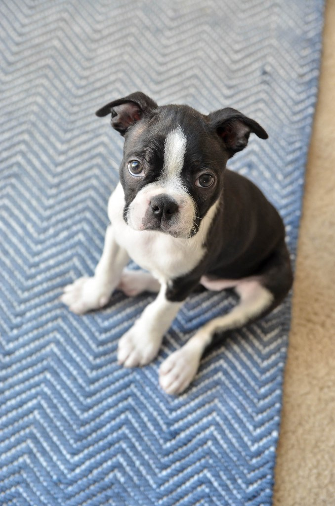 A Boston named Echo | greyhouseharbor.com