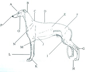 A Humorous Look at the Greyhound Anatomy | Greyhound
