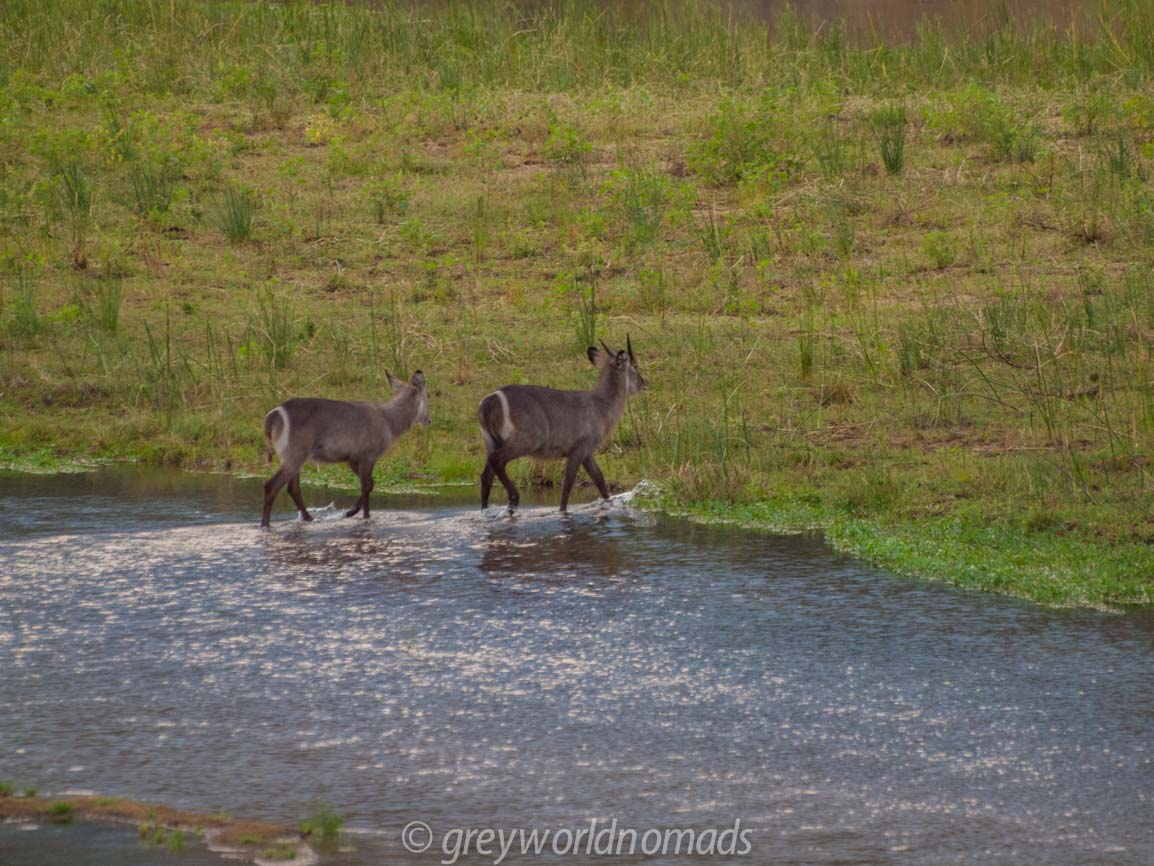Waterbock at the Letaba River