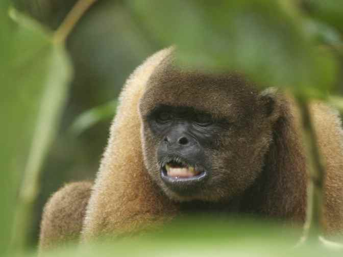 Volunteering with Woolly Monkeys in the Amazon Rainforest Ecuador.