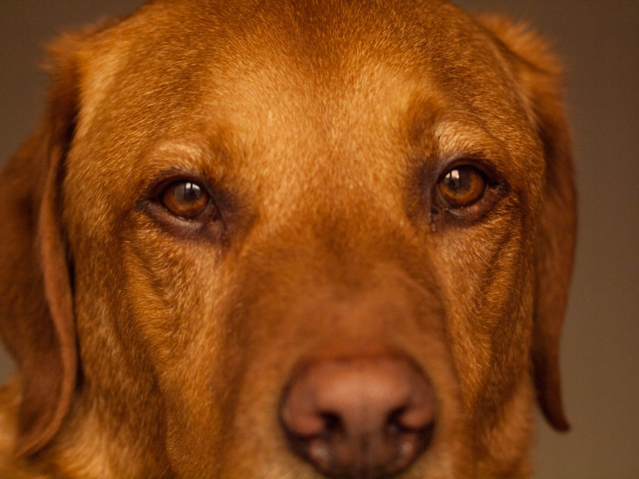 Mac, the fox-red Labrador