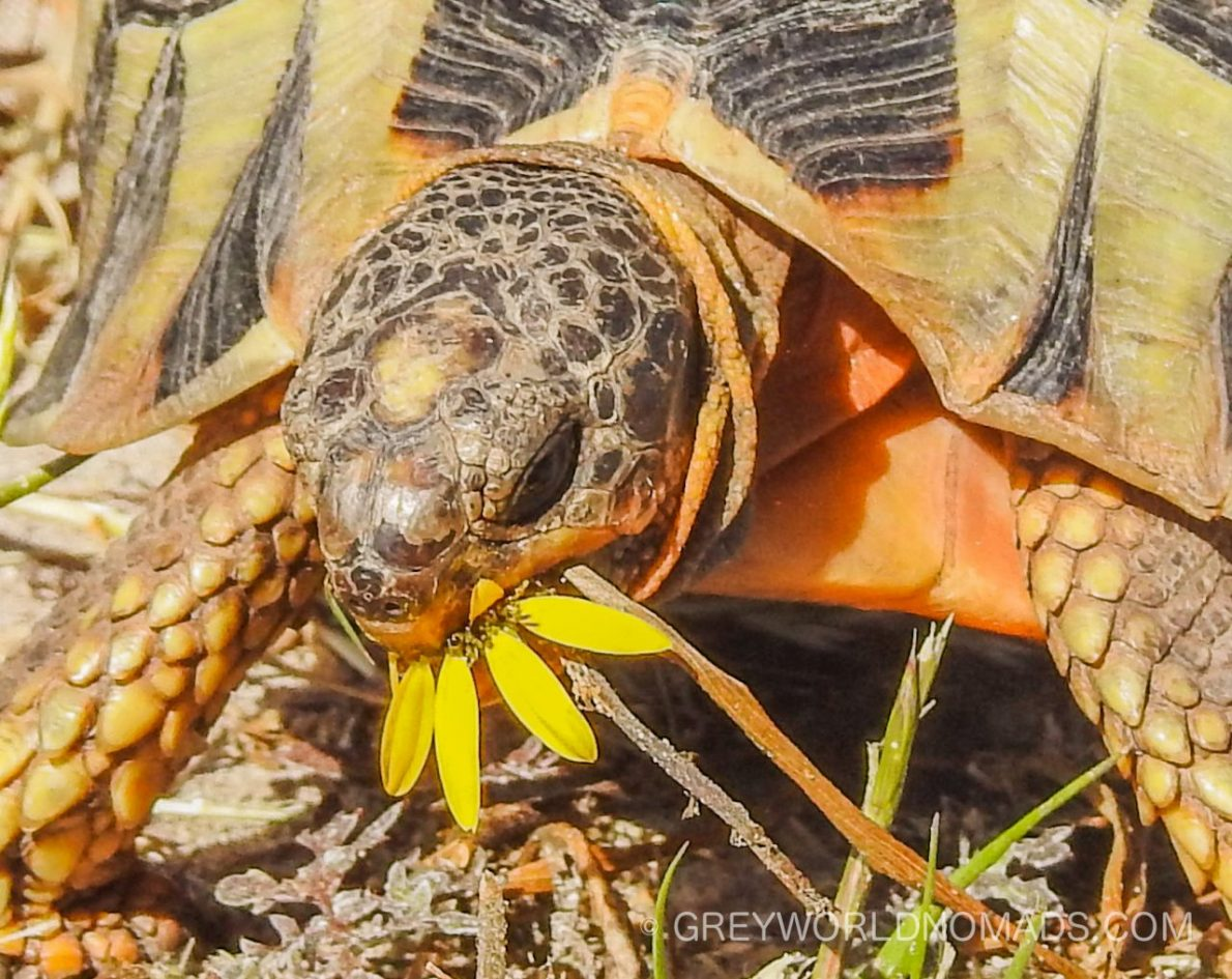 In De Mond Nature Reserve of South Africa tortoises are a common sight. The south-western Cape boasts of animals. Easy to overlook this ancient species.