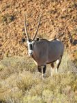 Various Antelopes, Mountain Zebras, some predators and the world highest concentrations of breeding black eagles populate the Karoo National Park in South Africa.