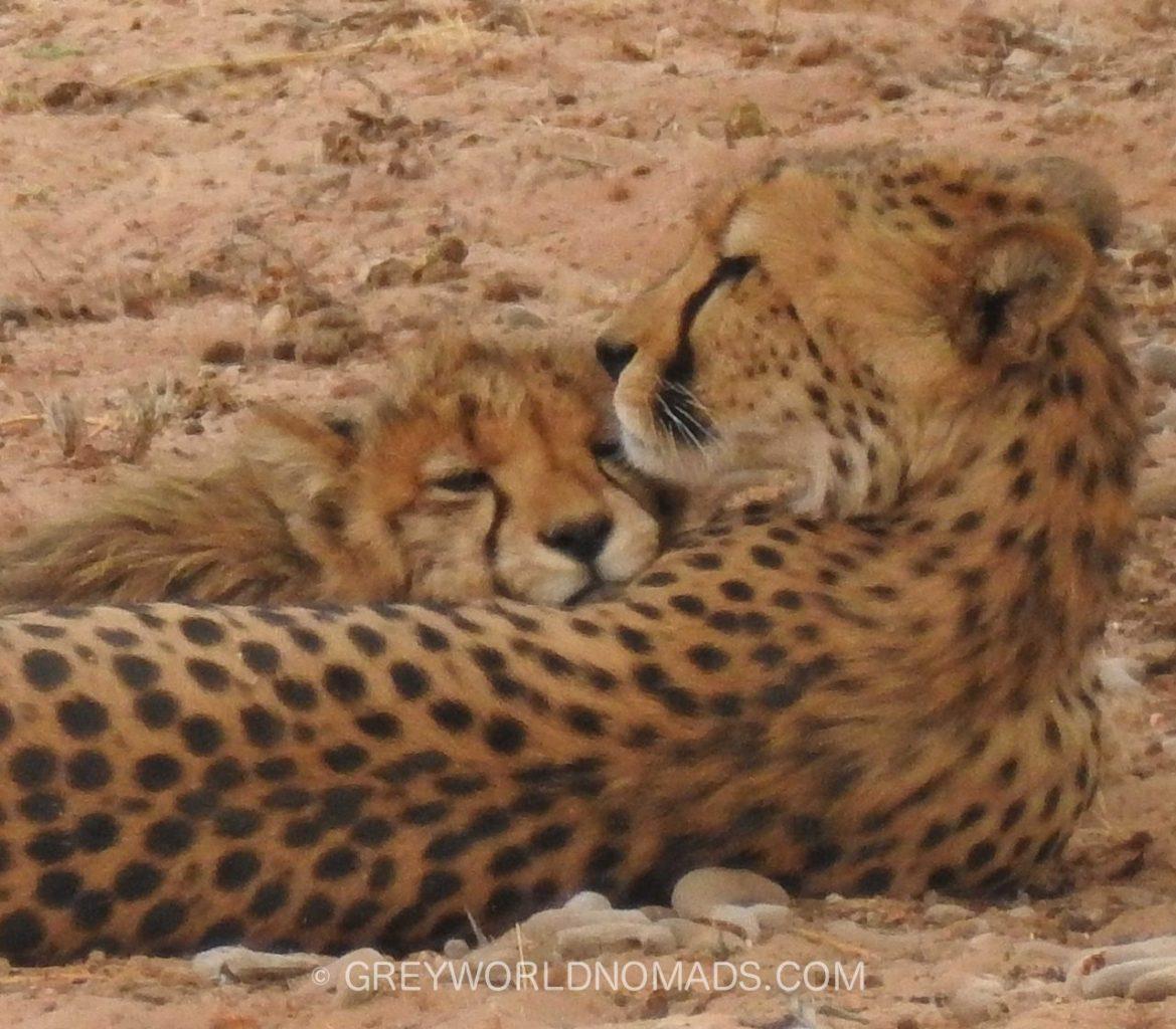Geparden vom Aussterben bedroht