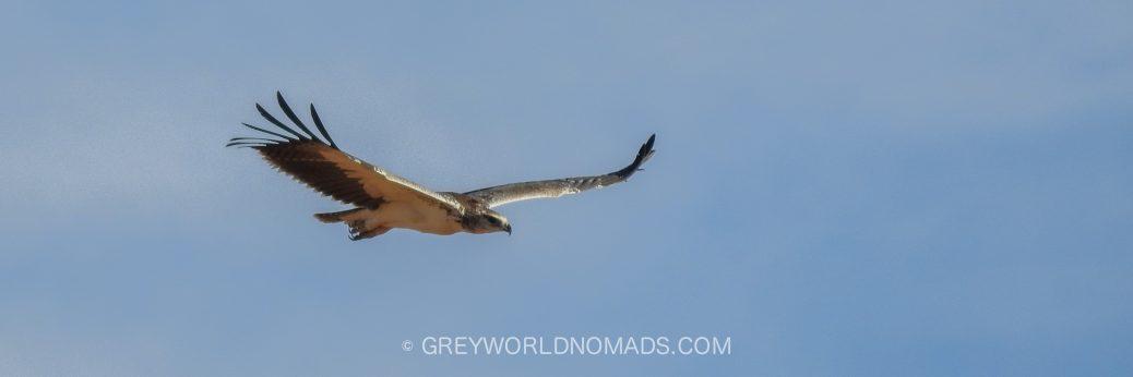Verlassener Junger Kampfadler in der Kalahari, Südafrika