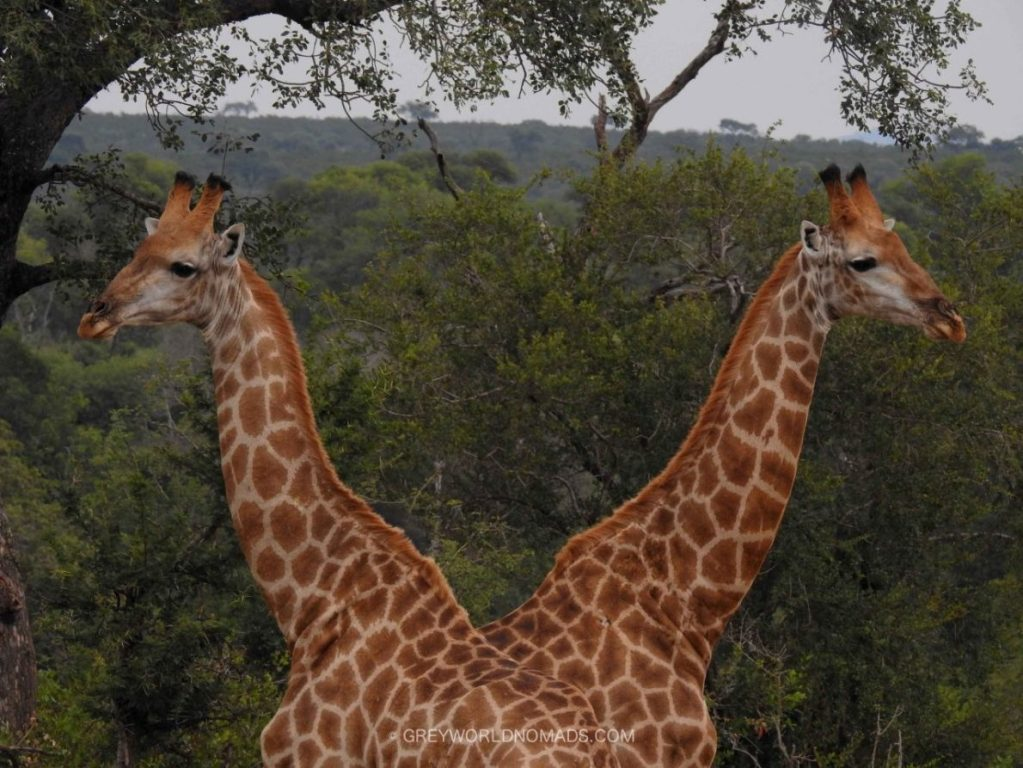 Wildlife Photography: Giraffes in Kruger National Park near Malelane Satellite Camp at the Crocodile River in South Africa.