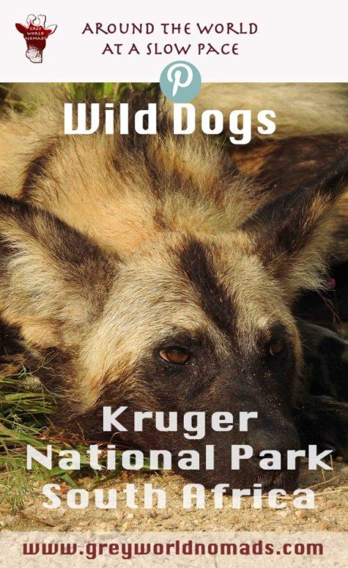 wild-dogs-kruger-4