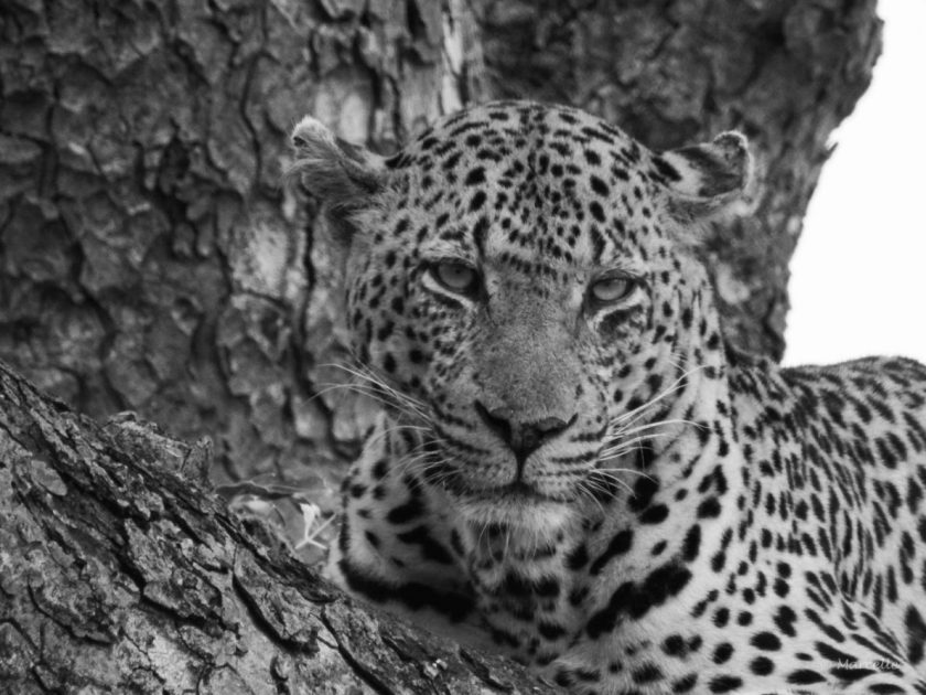Leopard in tree, Skukuza, Kruger National Park, South Africa