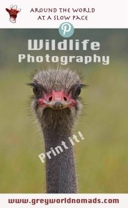 The Ostrich is the biggest bird species of the world. They can't fly but are very fast runners. We saw Ostriches in the Kruger National Park, South Africa.