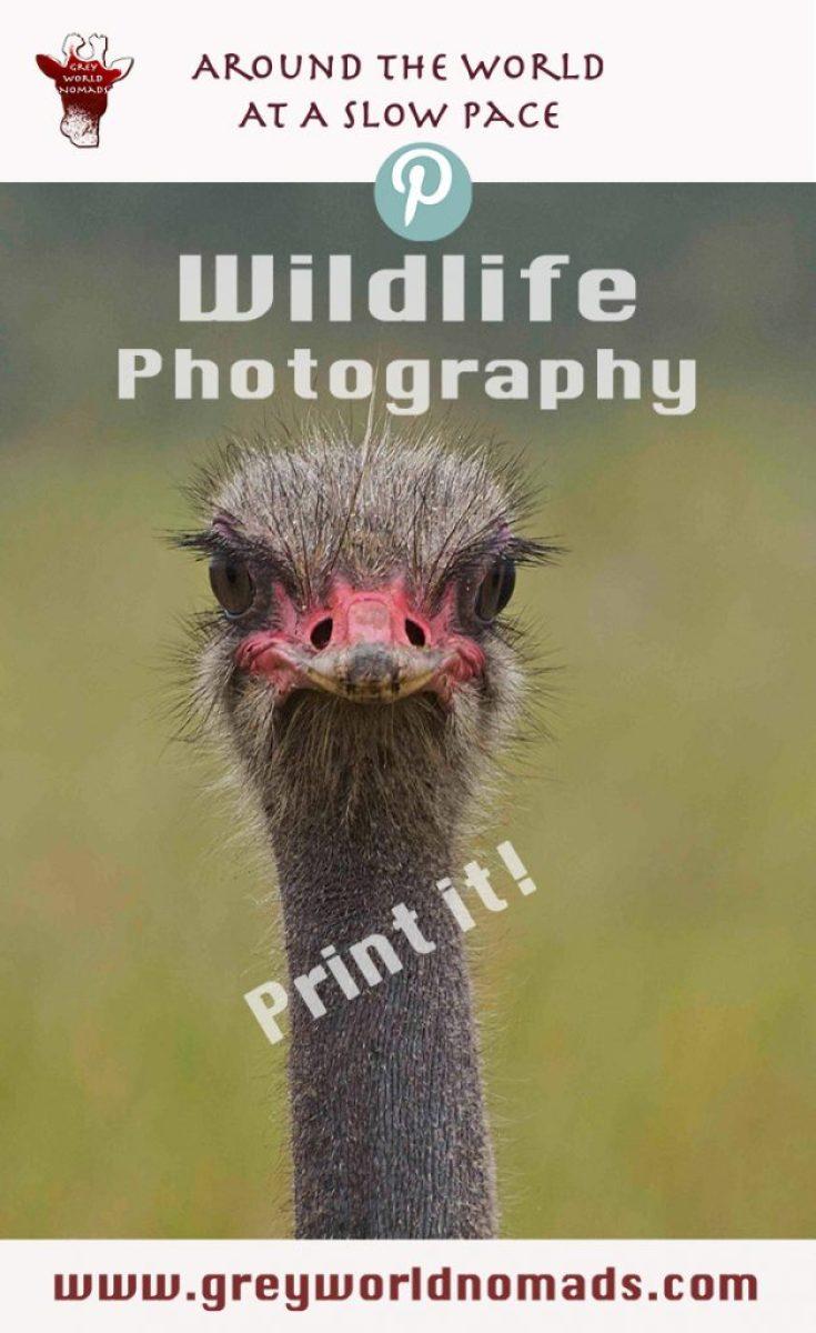 wildlife-photography-ostrich