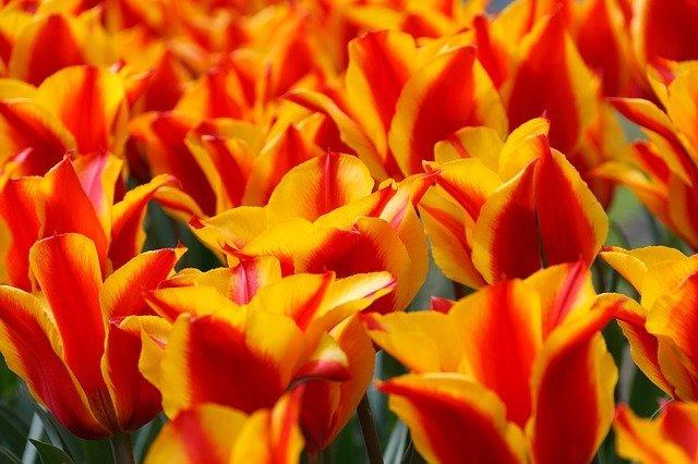 Tulpenblüte in Holland 2018, tulpen blütezeit holland, beste reisezeit holland, beste reisezeit amsterdam tulpenblüte, keukenhof tulpen kaufen, busreisen zur tulpenblüte nach holland, tulpenzeit in holland 2018, busreise nach keukenhof, von amsterdam nach keukenhof.
