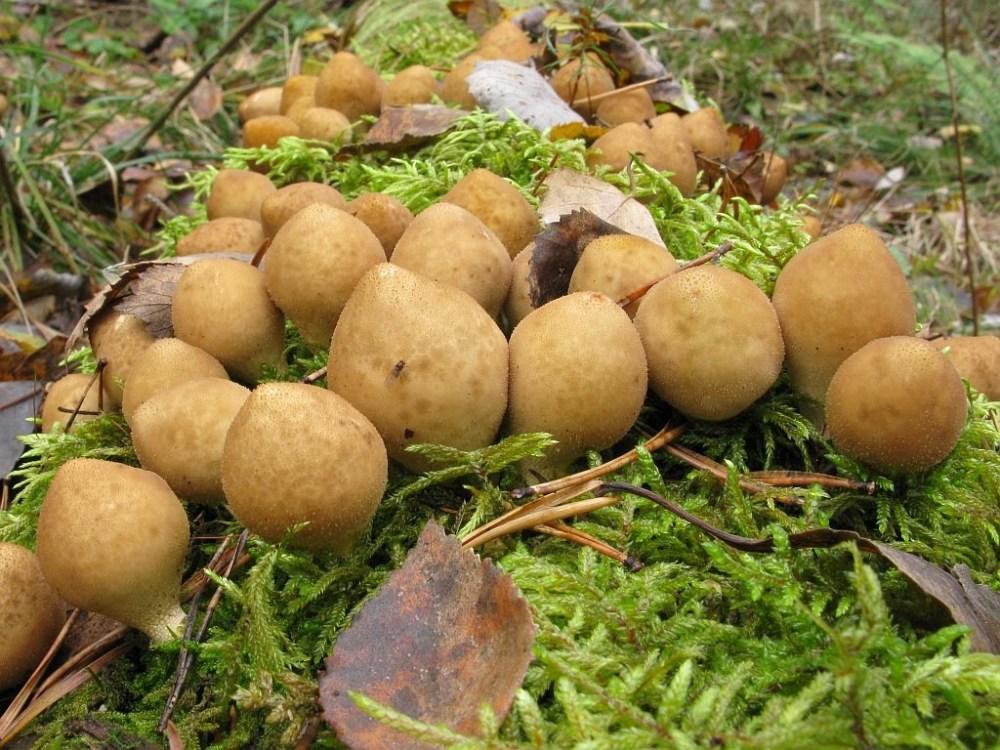 Дождевик желтоокрашенный (Lycoperdon flavotinctum)